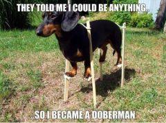 Doberman wannabe