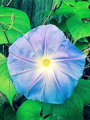 A stylized picture of a morning glory