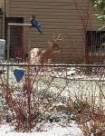 Piebald buck in the back yard.
