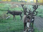 Can you tell where one deer ends and the other begins?