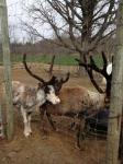 Reindeer Bull 2