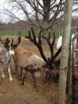Reindeer Bull 1