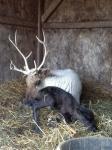reindeercalves5