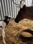 reindeer calves7