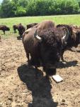 Big Boy at Boss Bison Ranch, in Cadiz, OH ~ Summer 2016